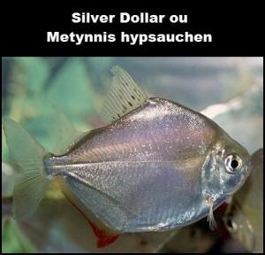 Silver Dollar ou  Metynnis hypsauchen
