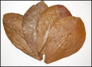 feuilles-catappas