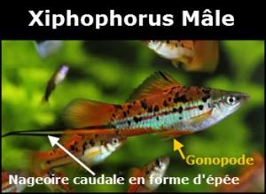 Xiphophorus
