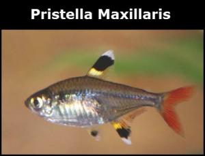 Pristella Maxillaris