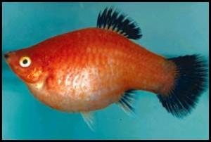 Les maladies des poissons d'eau douce