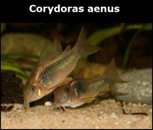 Corydoras aenus