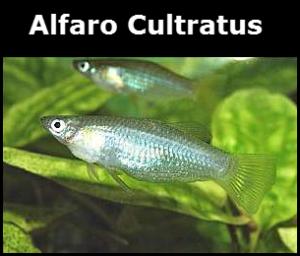 Poisson d'eau douce Alfaro Cultratus