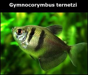 Poisson d'eau douce Gymnocorymbus ternetzi