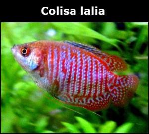 Colisa Lalia poisson d'eau douce
