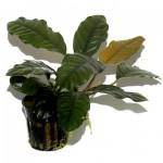 anubias-barteri -coffeefolia