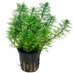 myriophyllum-mattogrossense