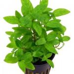 Plante aquatique la Staurogyne repens