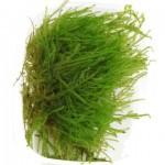 taxiphyllum -spiky