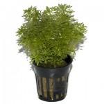 Limnophila sessiliflora 02