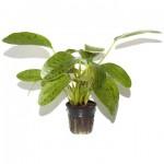 Plante aquatique Echinodorus Ozelot Green