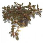 ludwigia-repens-rubin