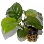 Plante aquatique Anubias barteri var caladiifolia