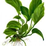 anubias-barteri-var-caladiifolia-04