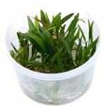 echinodorus-tenellus-green