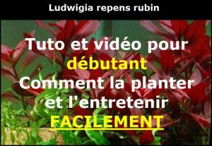 ludwigia-repens-rubin-06