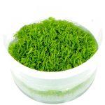 f-utricularia-graminifolia