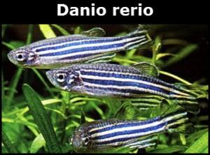 Danio rerio