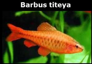Barbus titeya