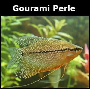 Gourami perle
