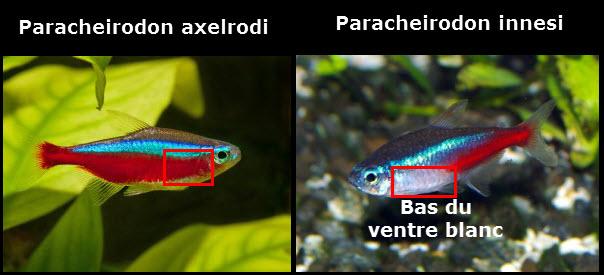 Différence du cardinalis et le néon