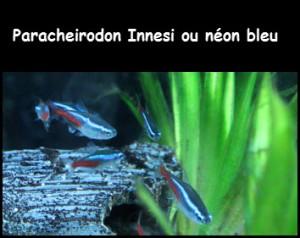 Paracheirodon Innesi, néon bleu