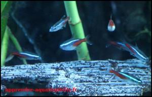 Poisson néon bleu
