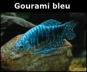 Gourami bleu, Trichogaster Trichopterus