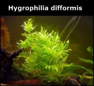 Hygrophilia difformis