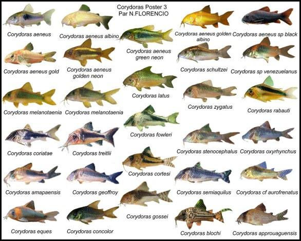 Les différents types de Corydoras