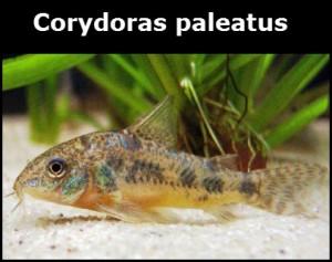 Corydoras paleatus poisson d'eau douce