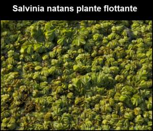 Salvinia natans plante flottante