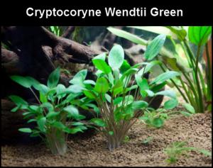 Cryptocoryne wendtii green, Plante de premier plan.