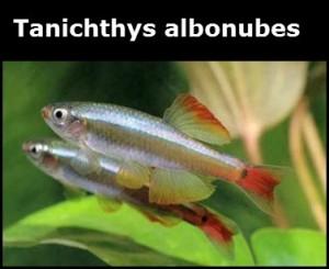Tanichthys albonubes poisson d'eau douce