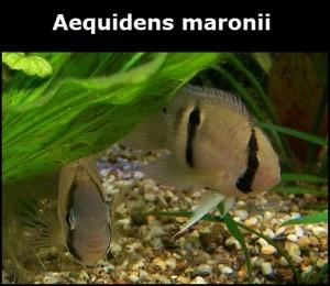 Aequidens maronii