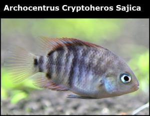 Archocentrus Cryptoheros Sajica