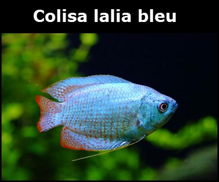 Colisa lalia, Trichogaster lalius
