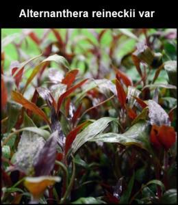 Plante Alternanthera reineckii var 'lilacina''