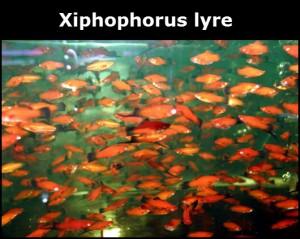 Xiphophorus lyre poisson d'eau douce