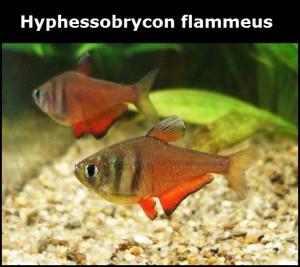 Hyphessobrycon flammeus poisson d'eau douce