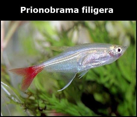 Prionobrama filigera poisson d'eau douce