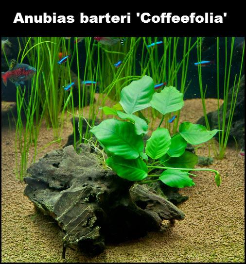 Anubias barteri Coffeefolia facile pour débutant.