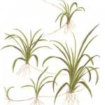 echinodorus-tenellus-03