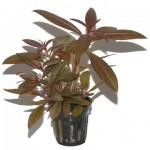 ludwigia-glandulosa