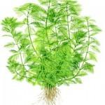 myriophyllum-mattogrossense-01