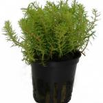 myriophyllum-mezianum06