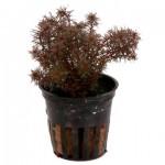 myriophyllum-tuberculatum