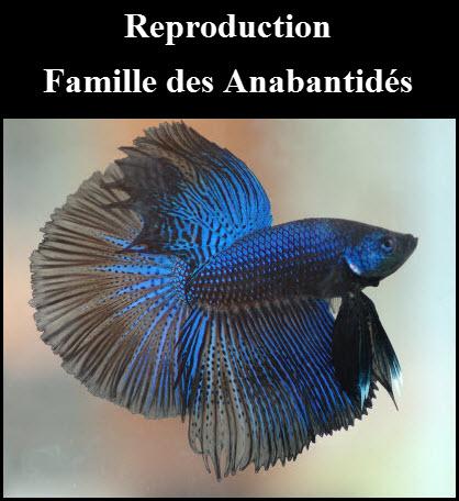 Comment faire une reproduction avec la famille des Anabantidés