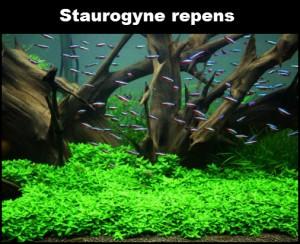 staurogyne-repens