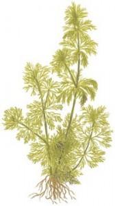 Limnophila sessiliflora 03